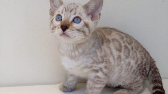 Lady Harriet's kittens born 10th Oct 2015