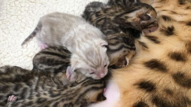 Lady Beatrice's new kittens born 22 Jan 2017